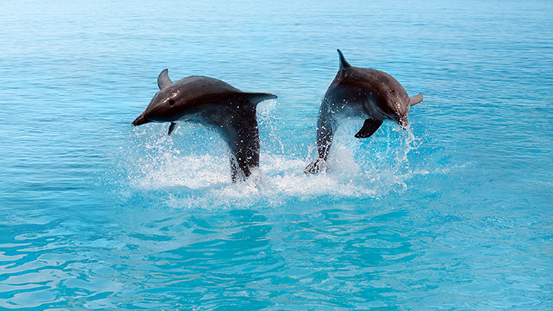Dolphin watching in the Maldives